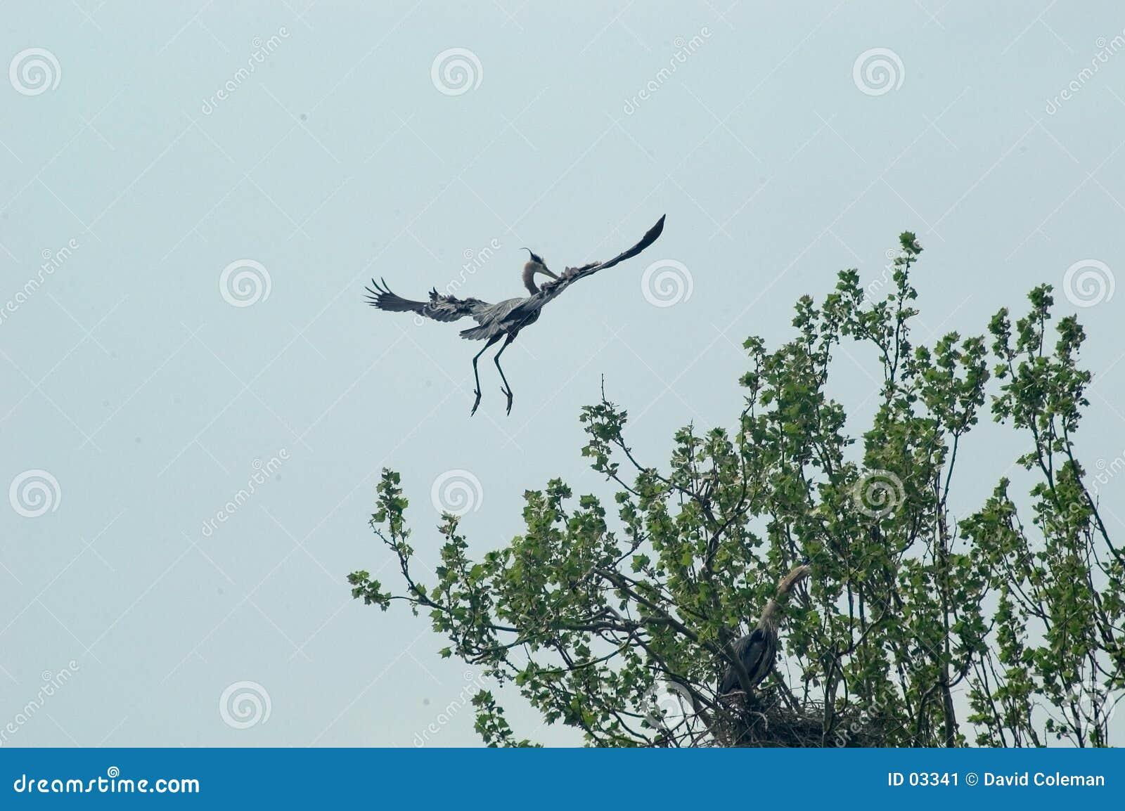 Héron en vol