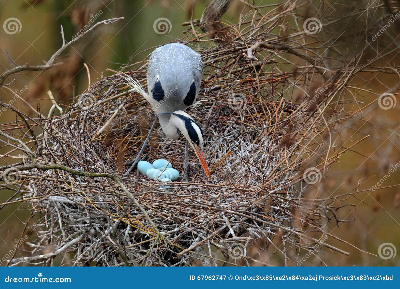 Héron gris, Ardea cinerea, dans le nid avec quatre oeufs, temps d emboîtement