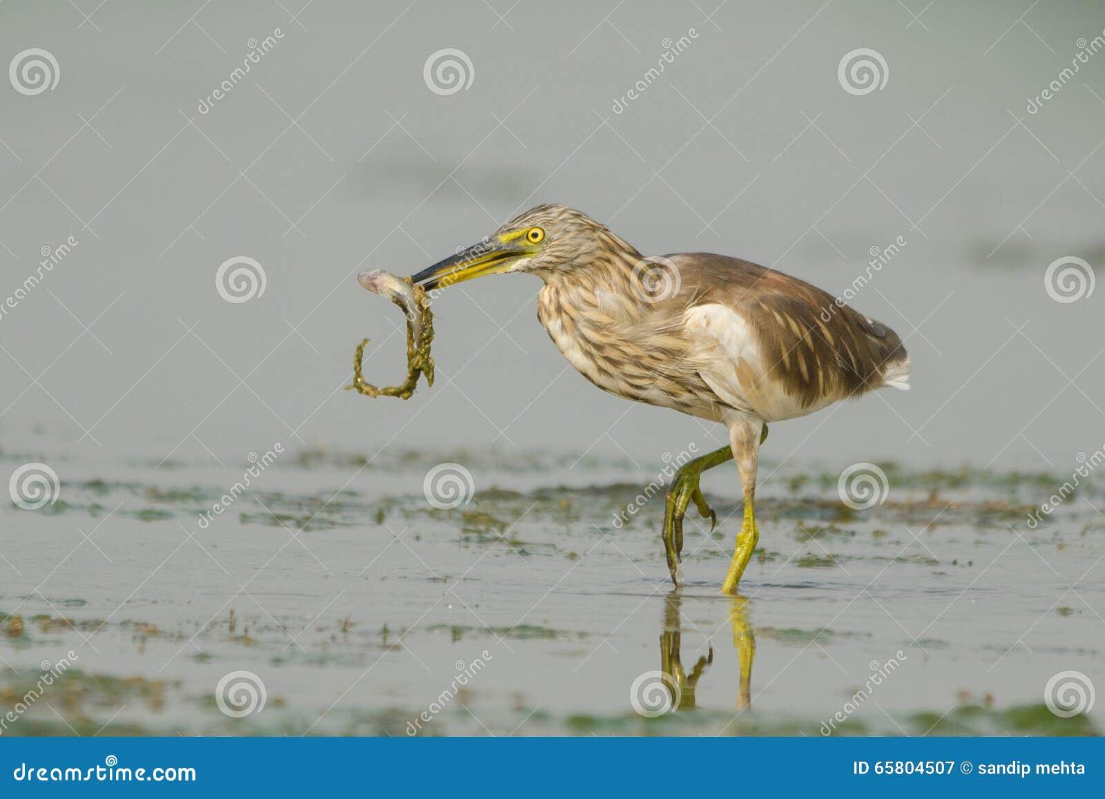 Héron indien d étang d oiseau