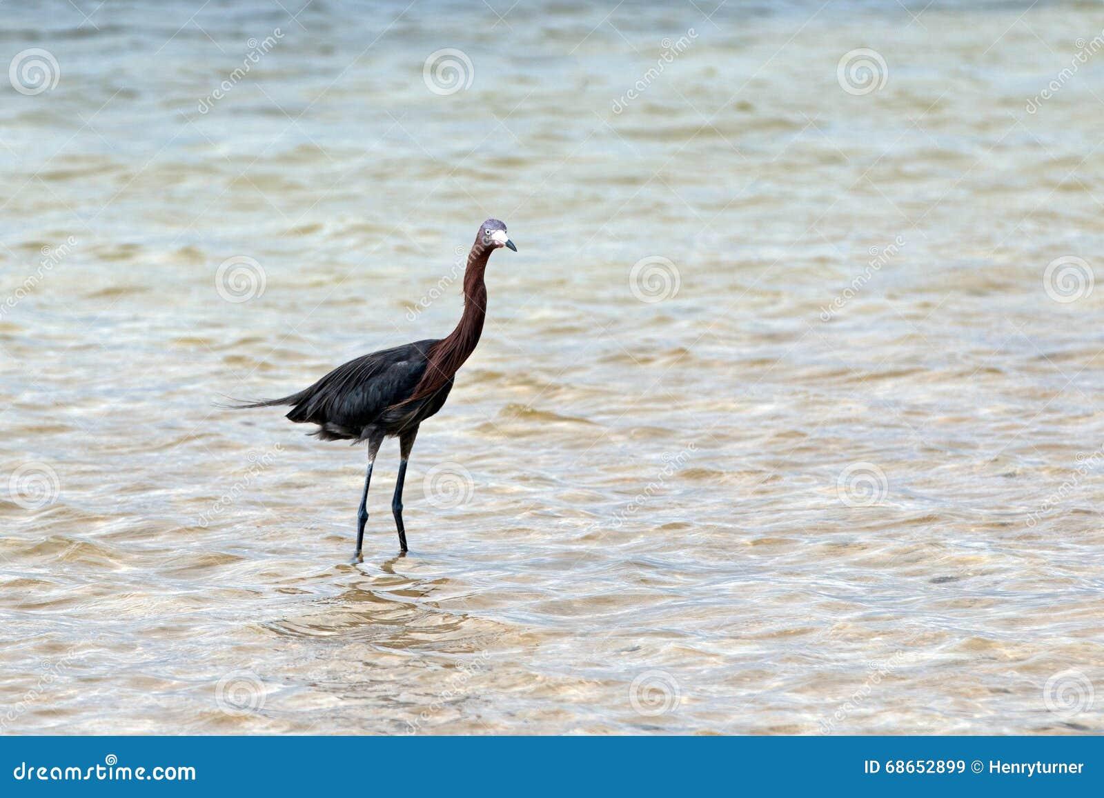 Héron rougeâtre ébouriffé par le vent en Isla Blanca Cancun Mexico