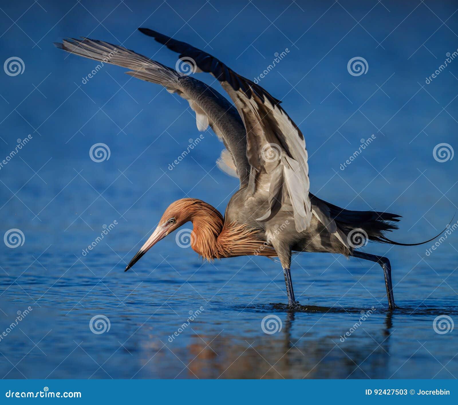 Héron rougeâtre dans la pêche de plumage d élevage dans l étang en Floride