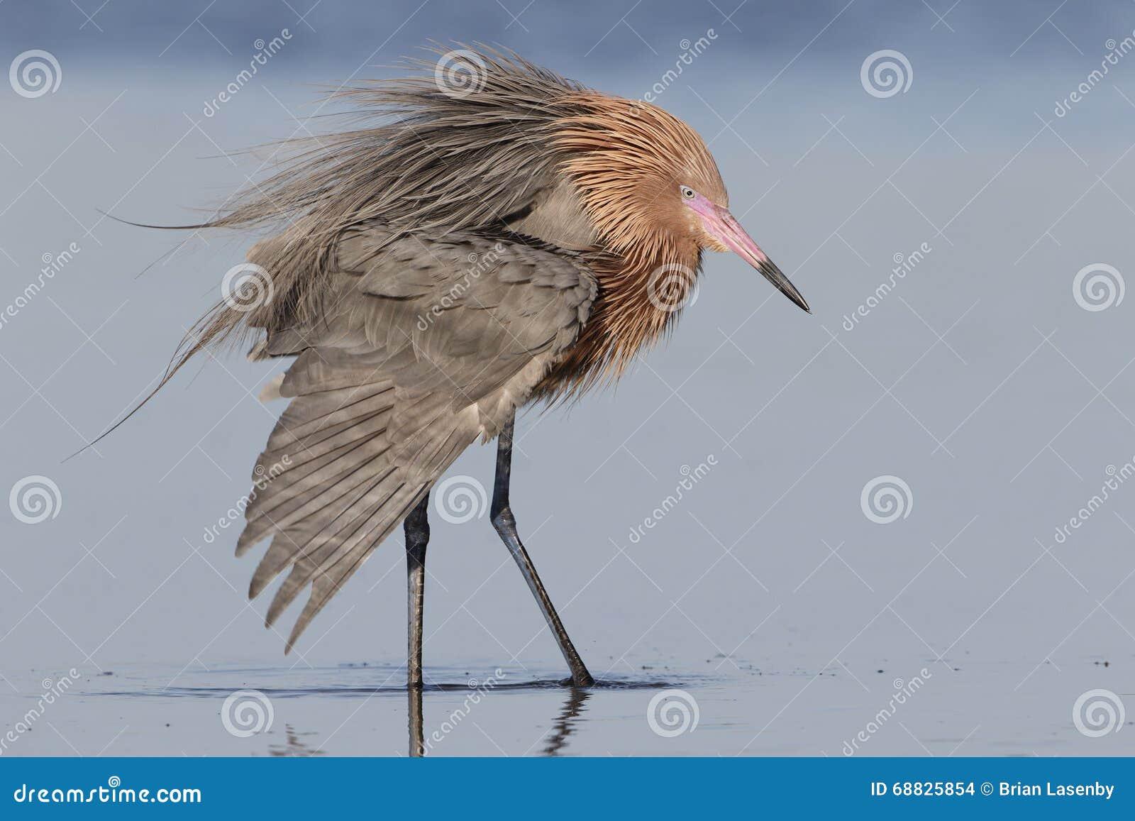 Héron rougeâtre prolongeant une aile - la Floride