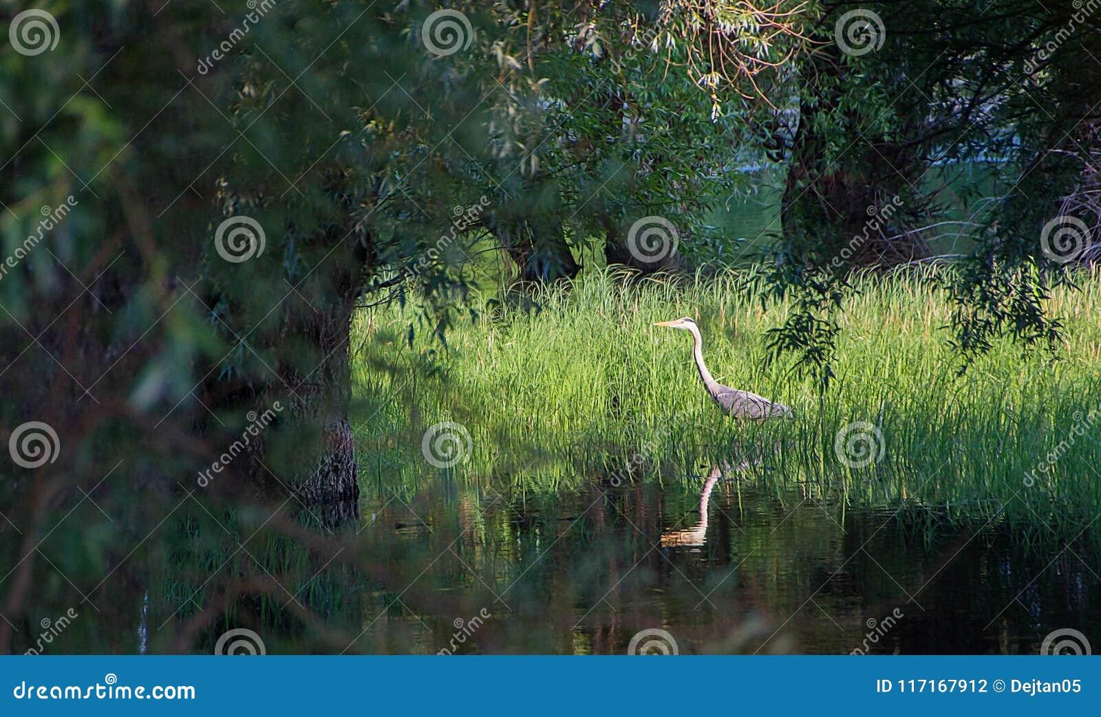 Hérons dans le marais