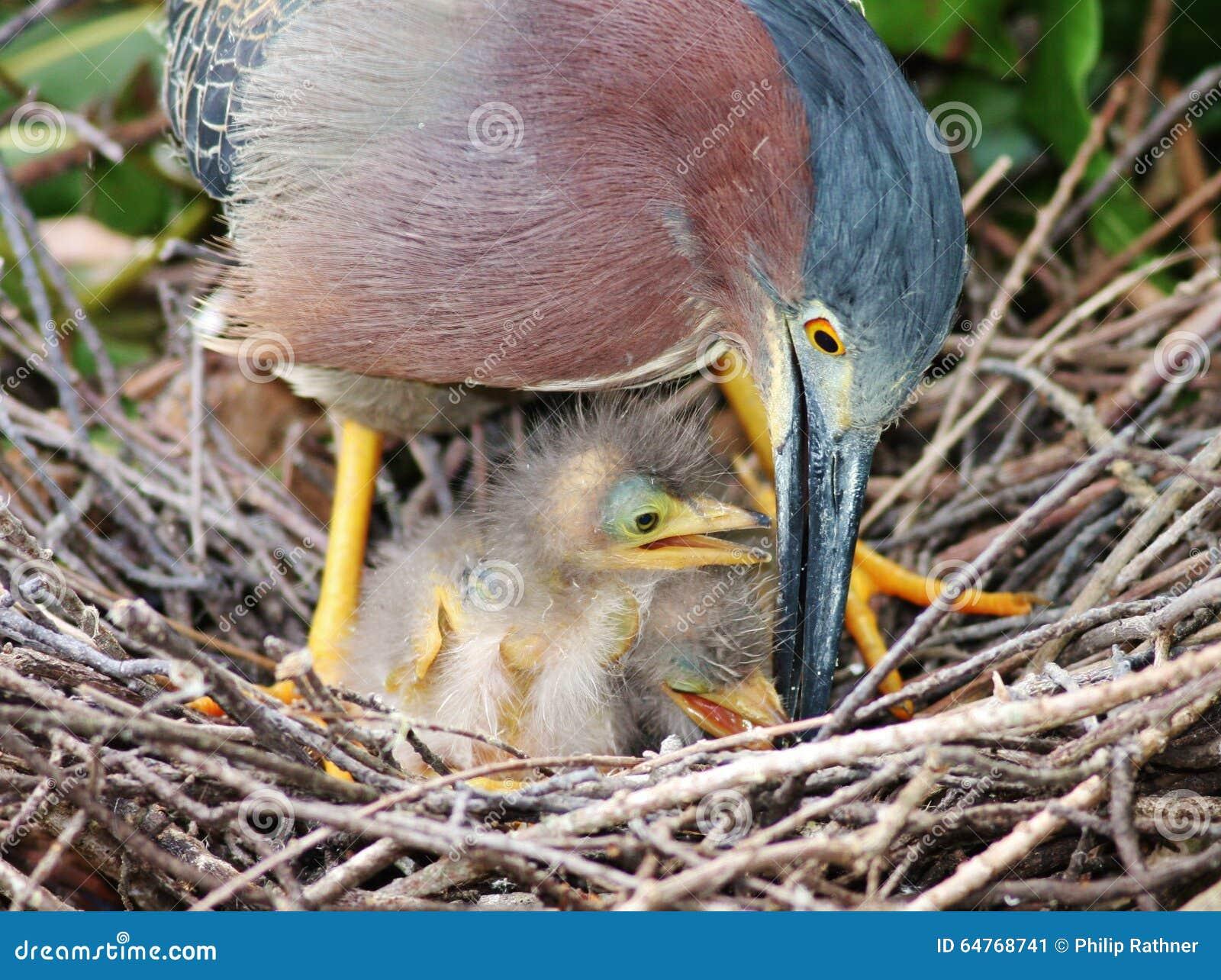 Hérons verts dans le nid