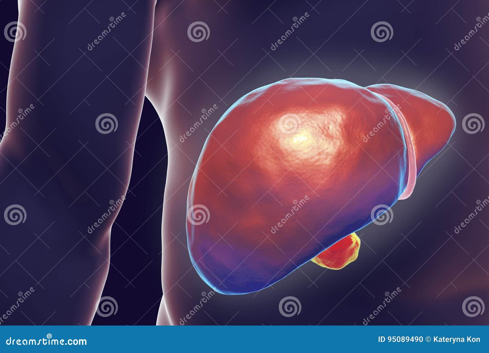 Hígado Dentro Del Cuerpo Humano Stock de ilustración - Ilustración ...