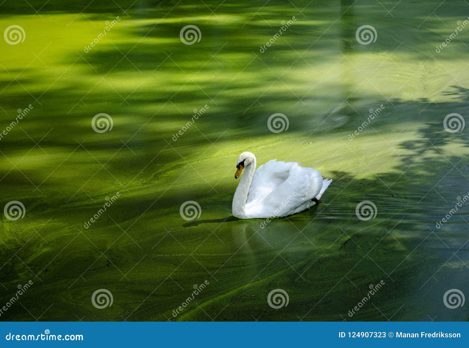 Höckerschwan auf grünem Wasser
