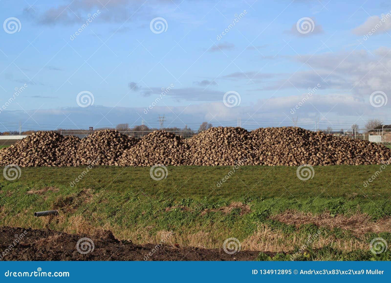 Hög av sockerbetor som torkar i höstsolen på lantgård i Moerkapelle i Nederländerna