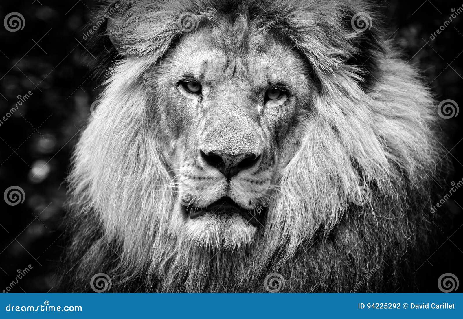 Hög kontrast som är svartvit av en manlig afrikansk lejonframsida