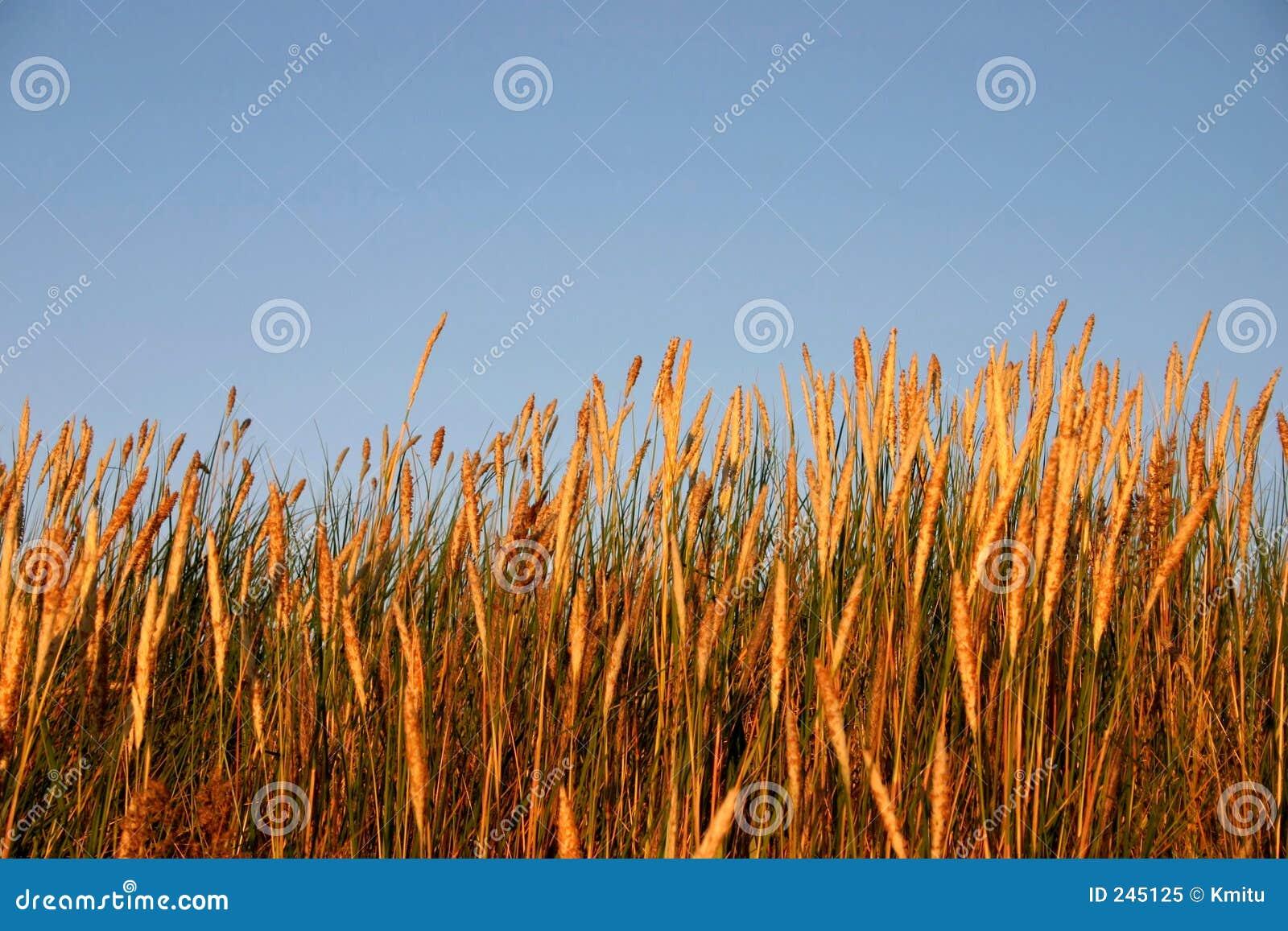 Hög ljus solnedgång för gräs