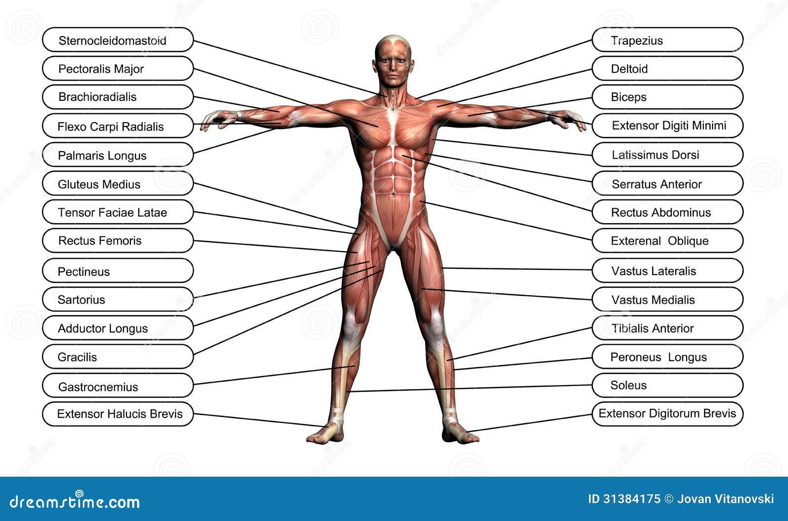 Högt upplösningsbegrepp eller begreppsmässig anatomi för människa 3D