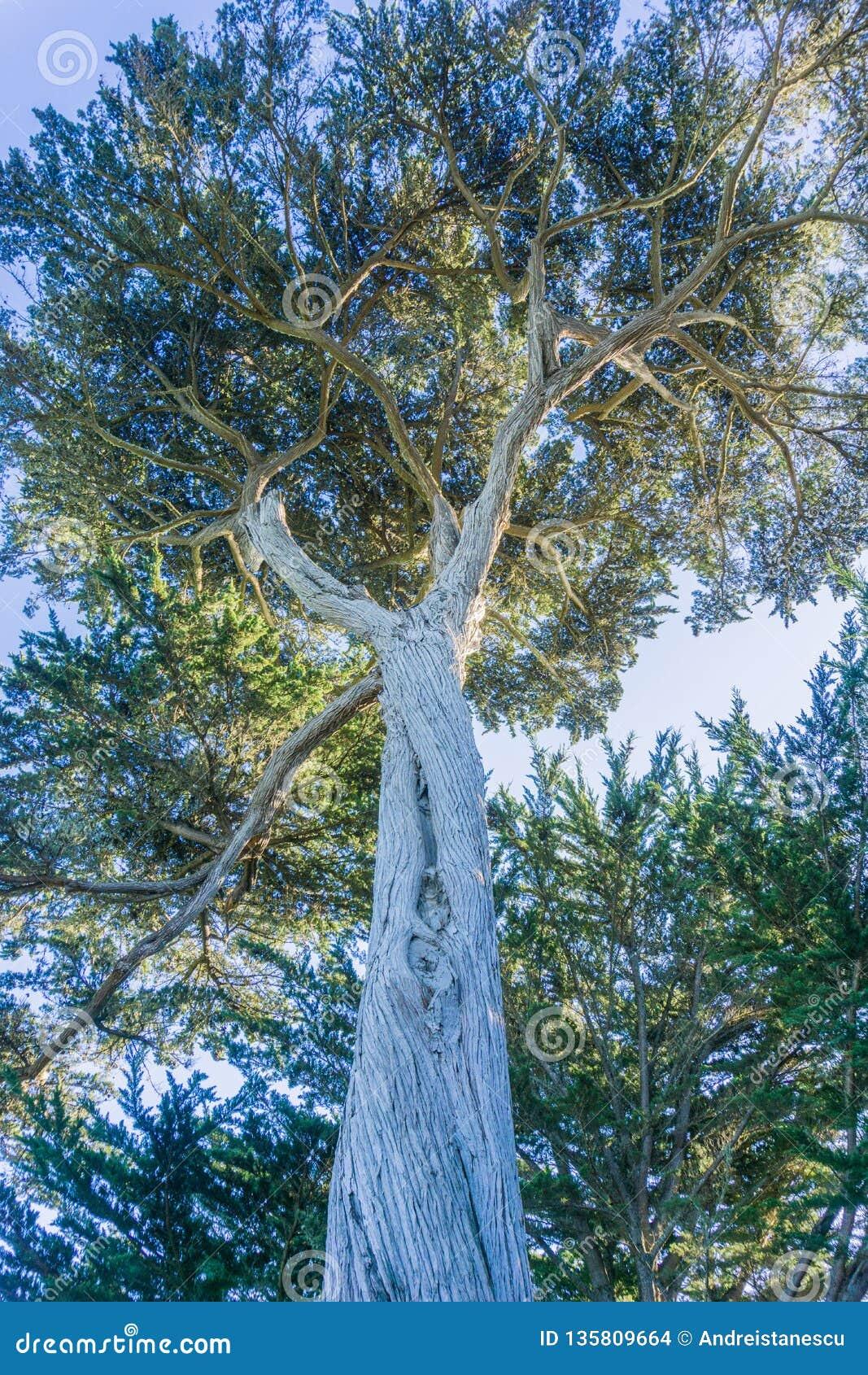 Högväxt cypressträd, Half Moon Bay, Kalifornien
