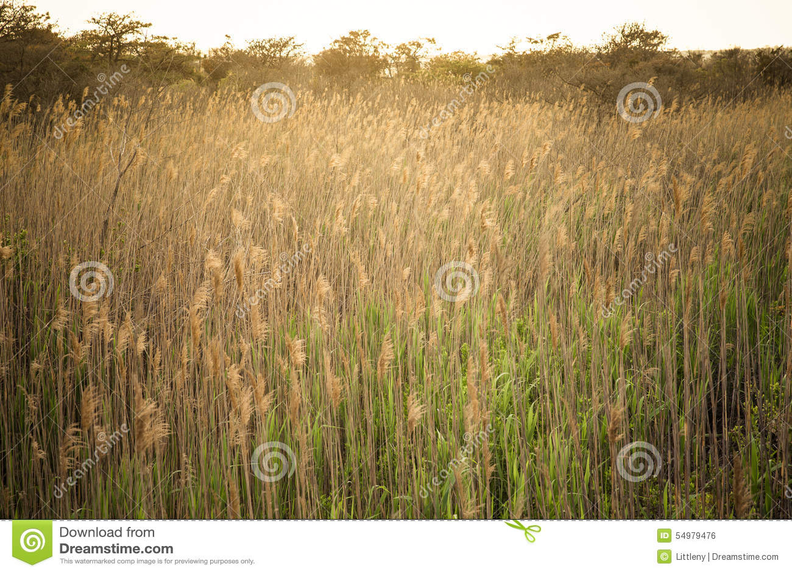 Högväxt gräs