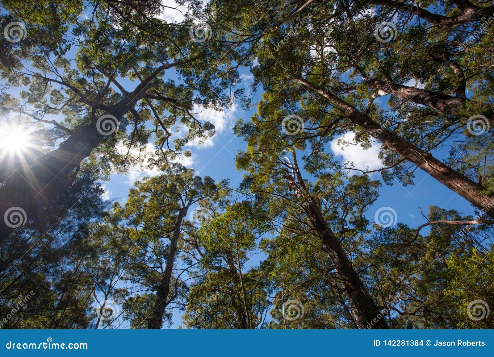 Högväxta australiska träd i en skog som upp till når en blå himmel