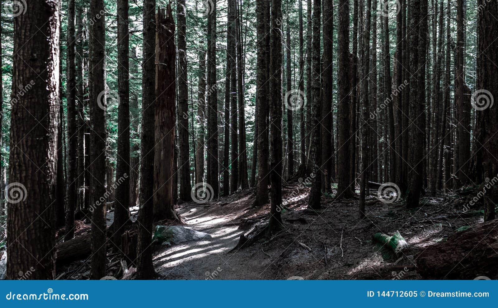 Högväxta träd i mörk skog