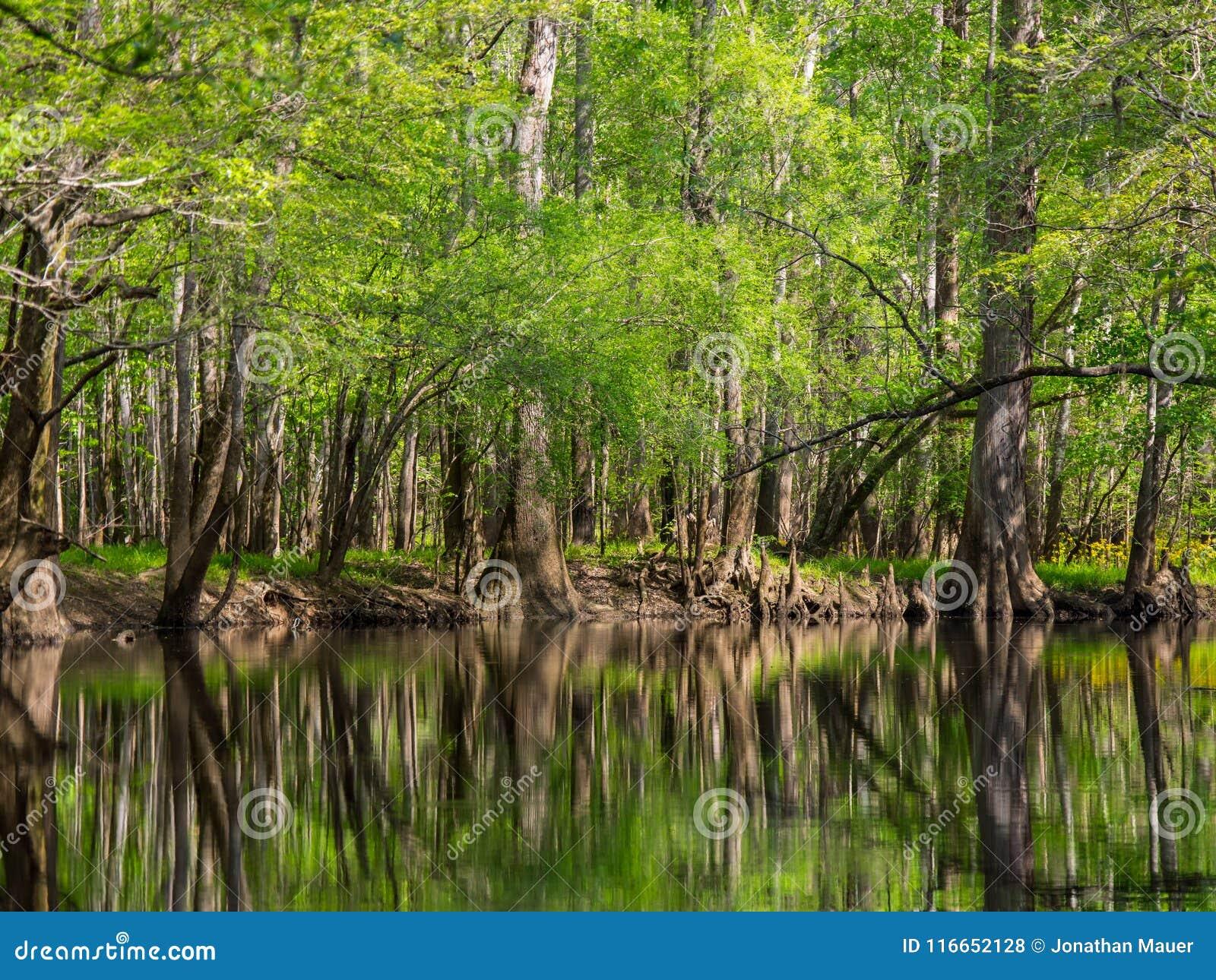 Högväxta träd längs vatten kant, Cedar Creek, Congaree nationalpark