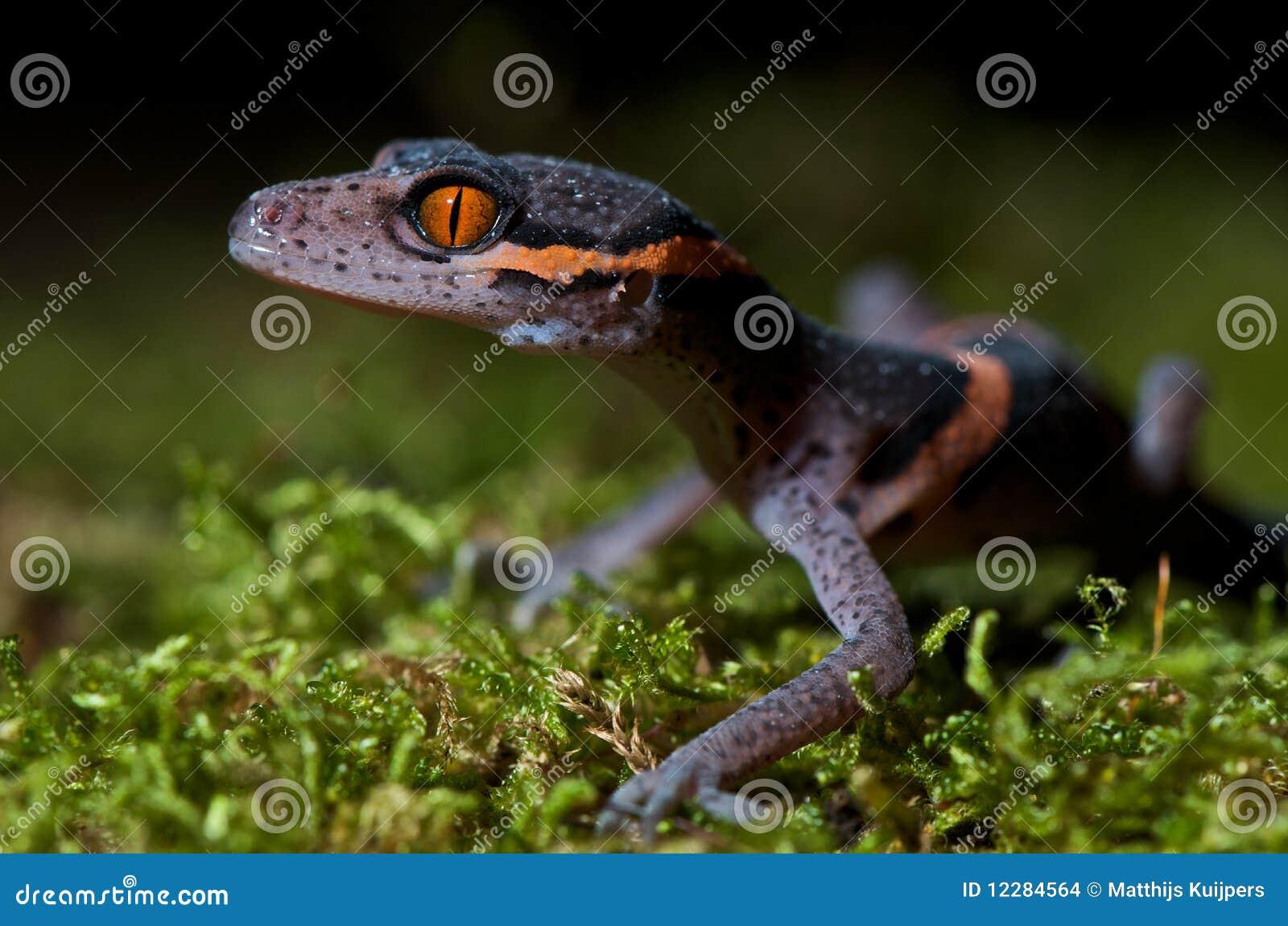 Höhle Gecko