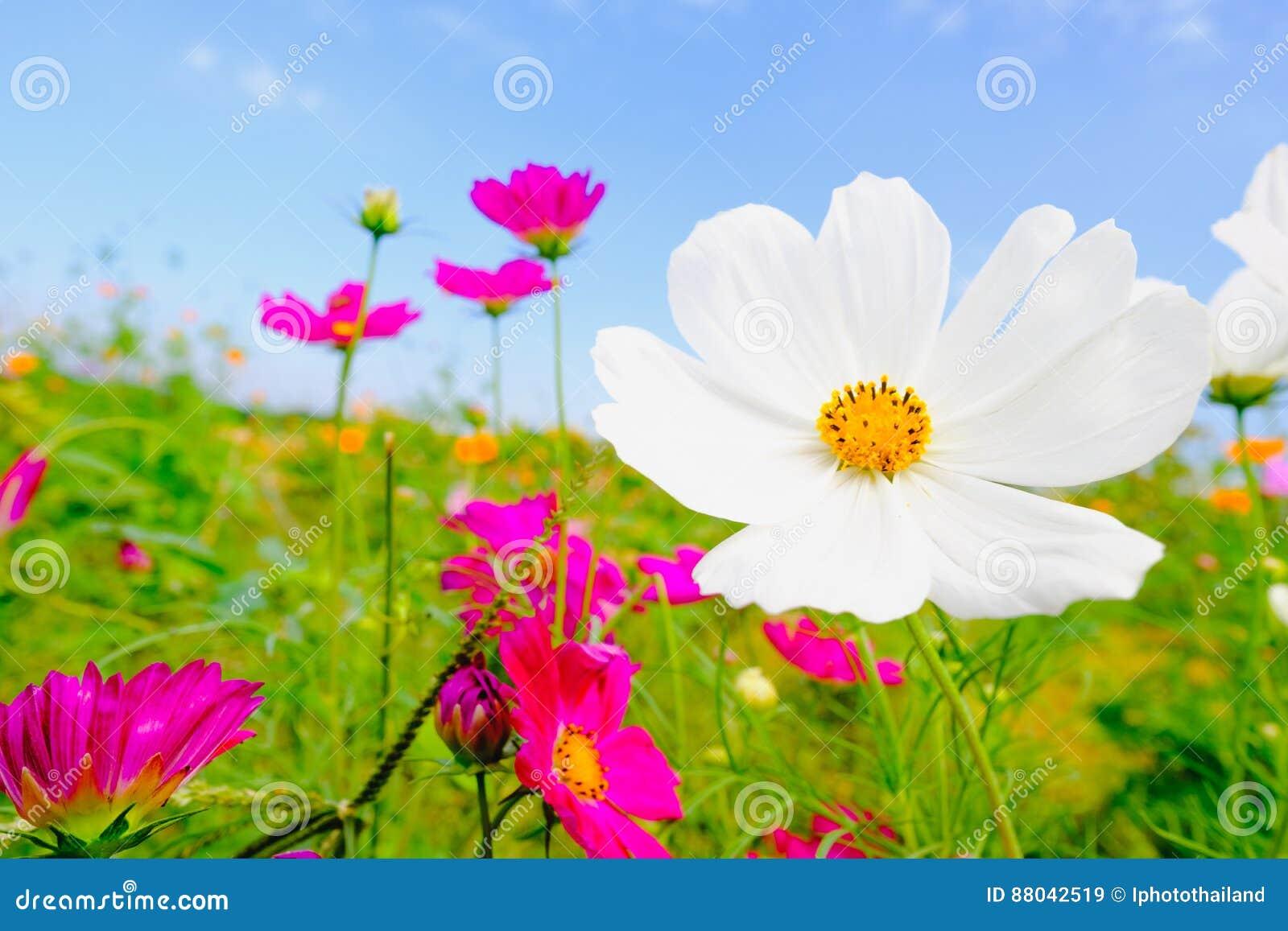 h lzerne tabelle mit rosa cosmea blume unter sonnenlicht und blauem himmel stockbild bild von. Black Bedroom Furniture Sets. Home Design Ideas