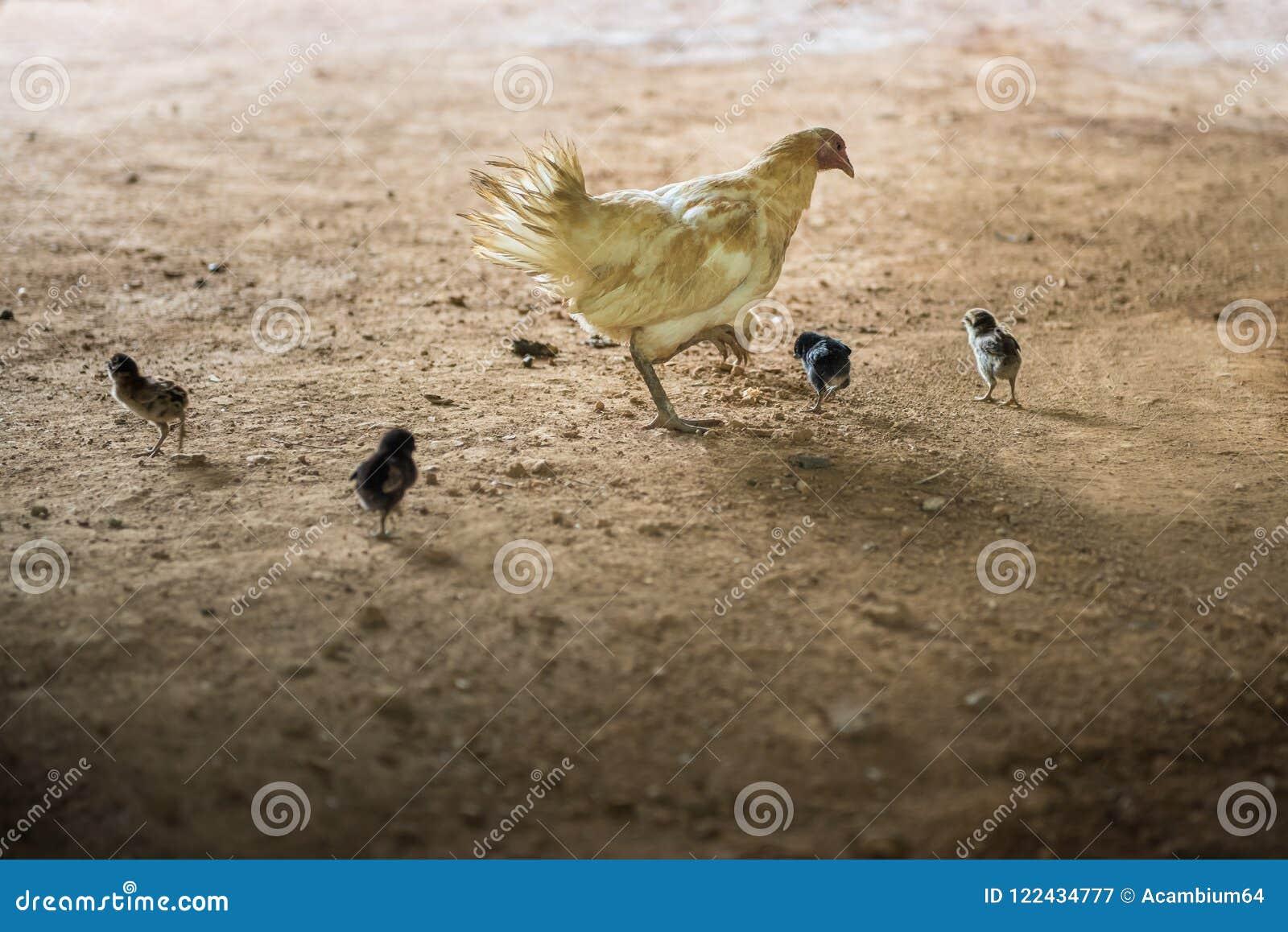 Höna & x28; chicken& x29; med fågelungarna som finner maten