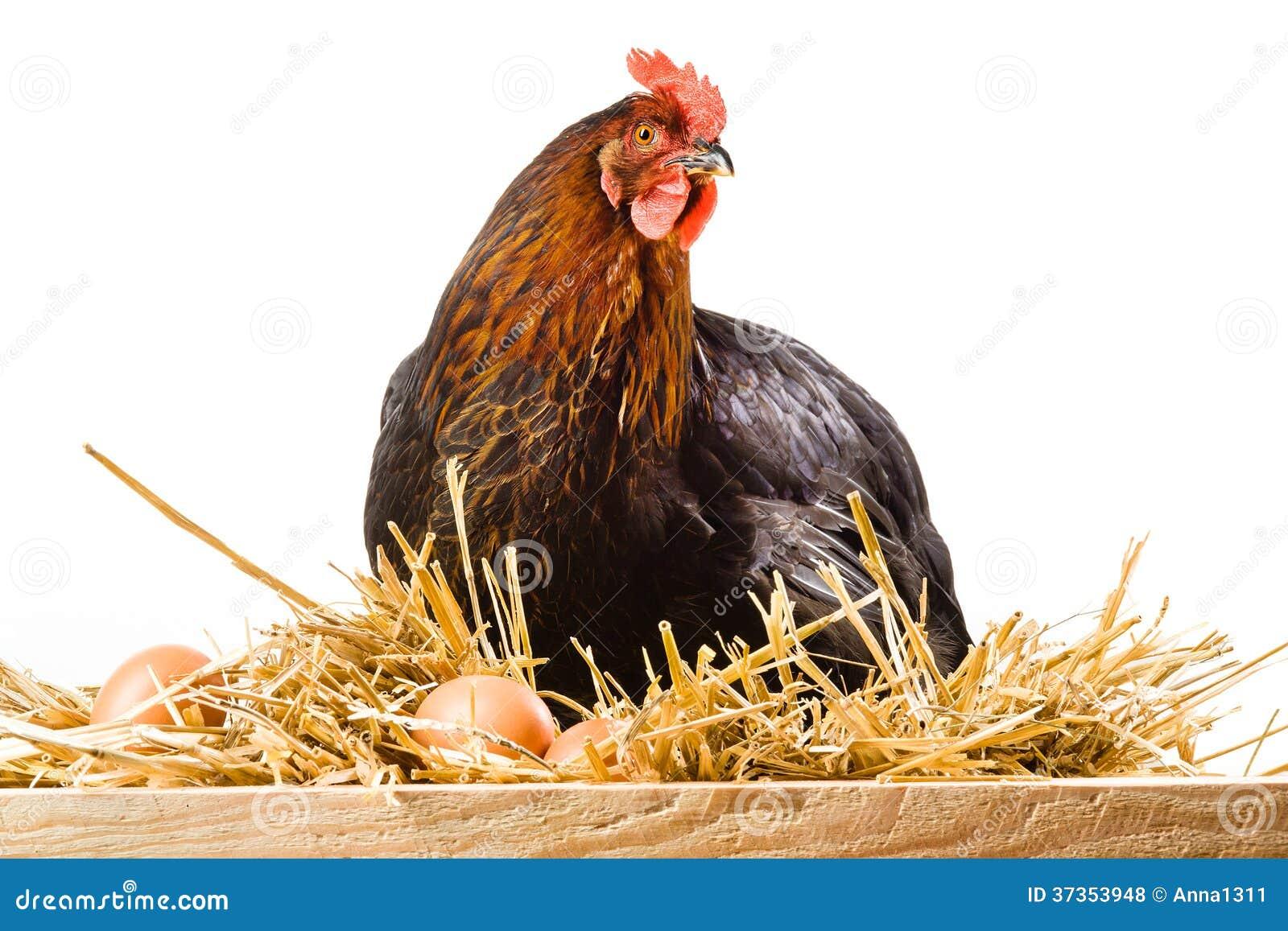 Höna i hö med ägg som isoleras på vit