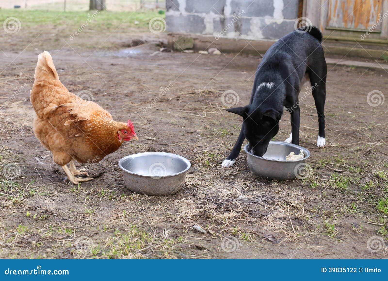 Höna i natur med hunden