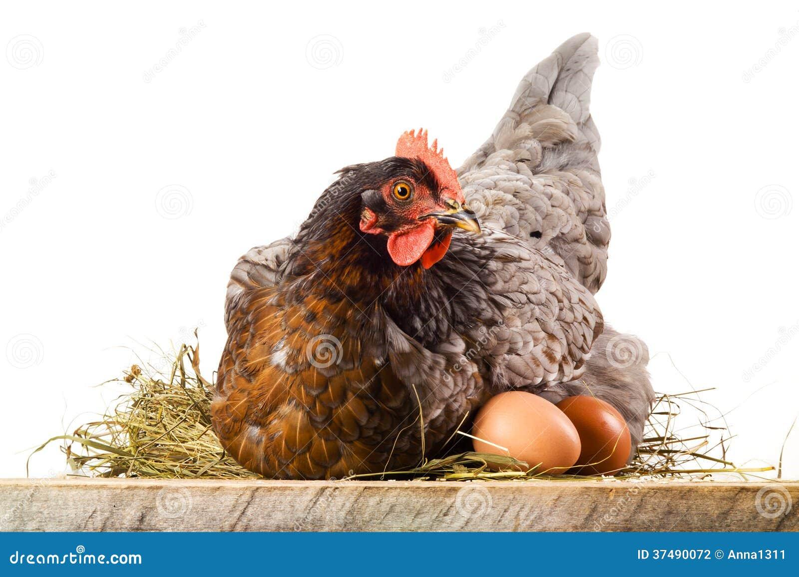 Höna i rede med ägg som isoleras på vit