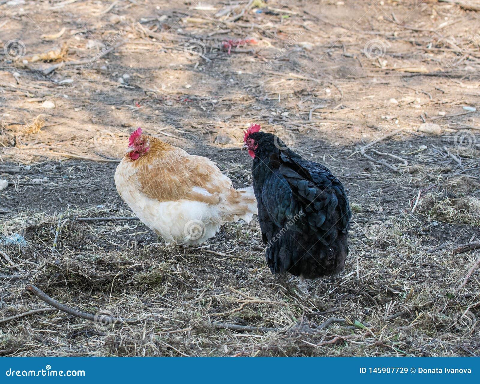 Hönor i gårdsplanen Industriell produktion av det ?tliga ?gget Hönor går i lantgårdträdgården