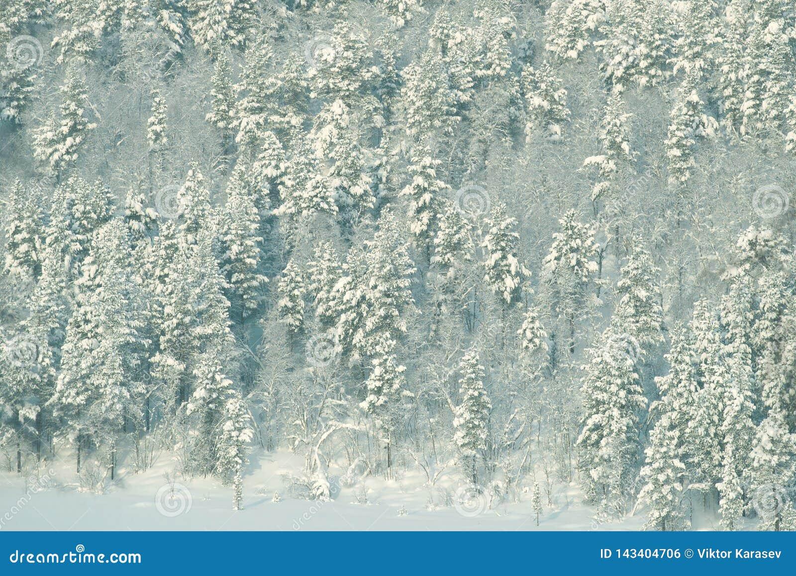Hörn av en polar snö-täckt skogMurmansk region, Ryssland