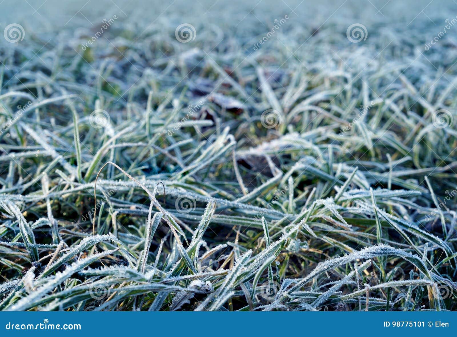 Höst frostigt gräs i morgon