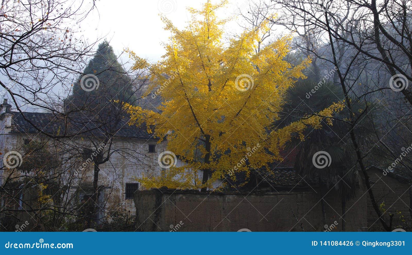 Höst i sydliga Anhui, guld- Ginkgoträd