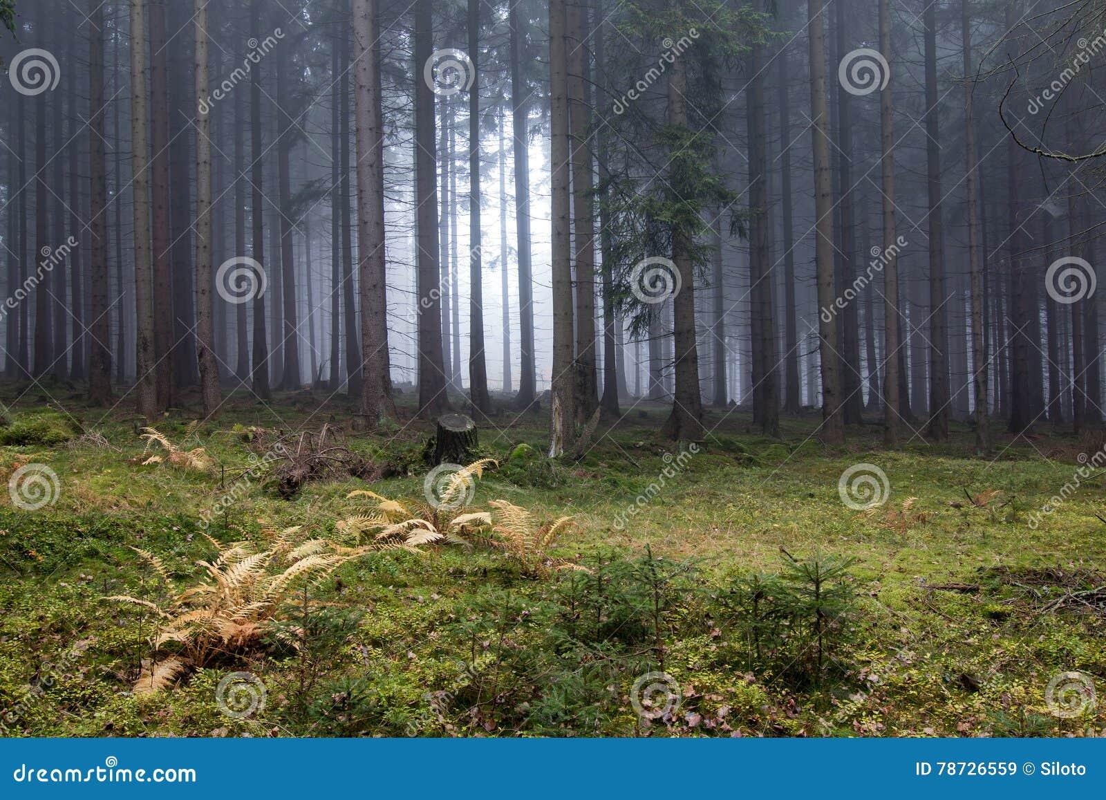 Höstdimma i den prydliga skogen