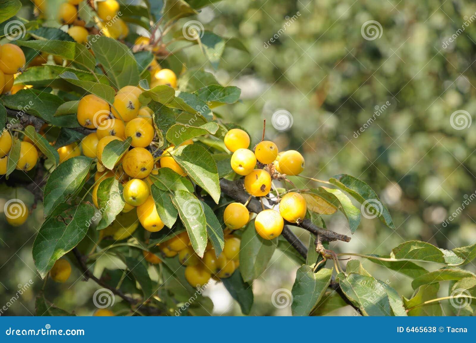 Hösten bär fruktt yellow
