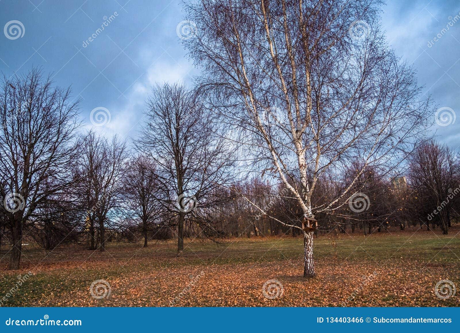 Höstlandskapet i en molnig afton är fullt av melankoliskt Ensamma träd med att vissna lövverk under de ensamma vidderna