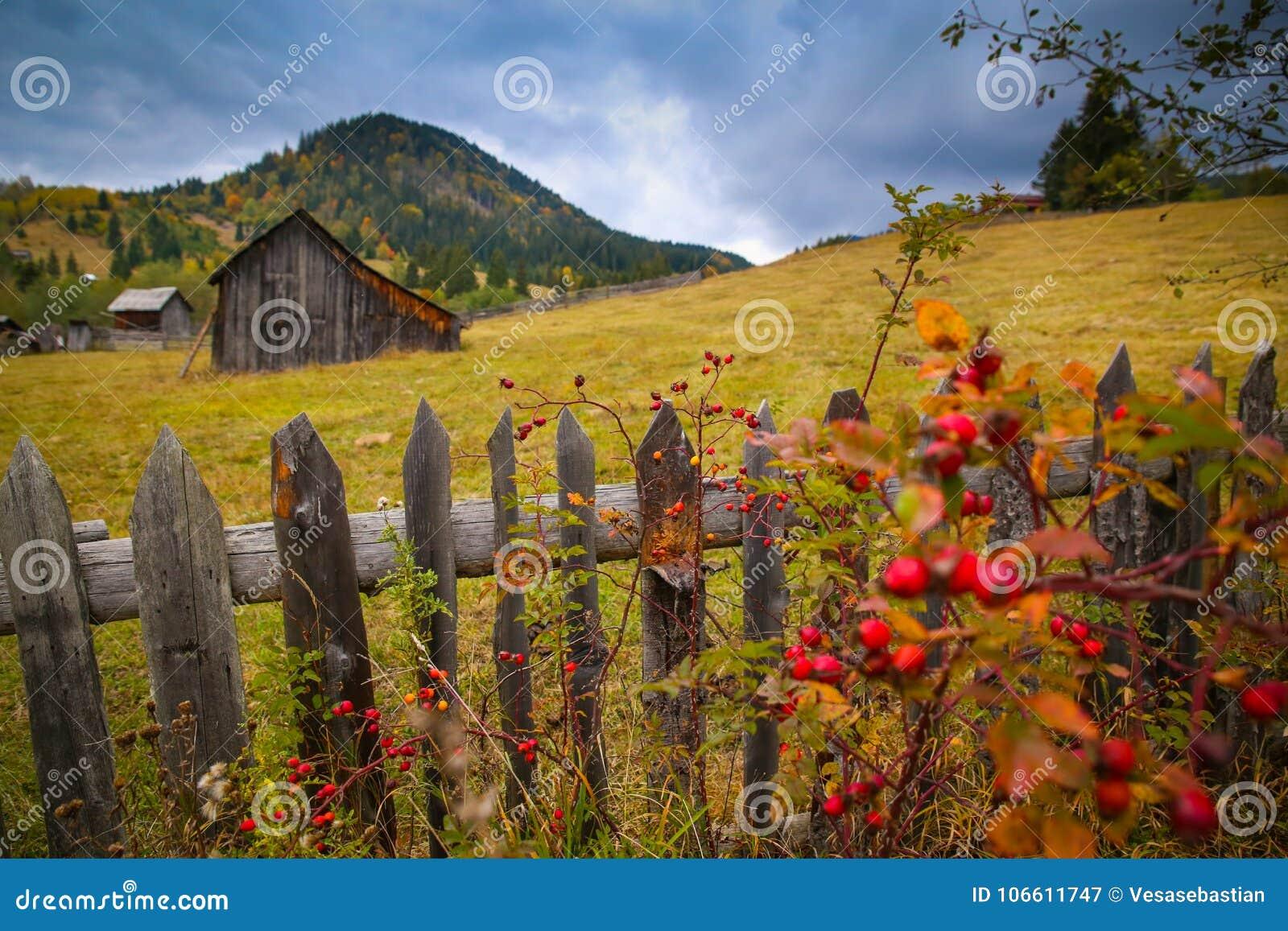 Höstlandskaplandskap med den färgrika skogen, wood staket, nypon och höladugårdar i Bucovina
