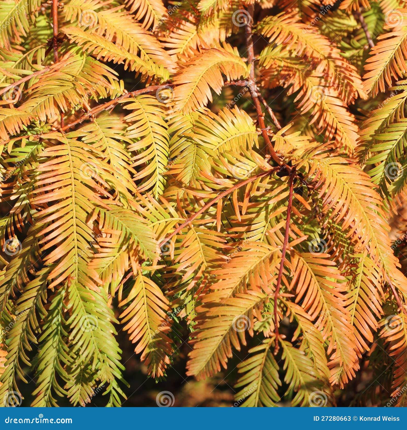 Höstliga filialer av gryningredwoodträdet, Metasequoia