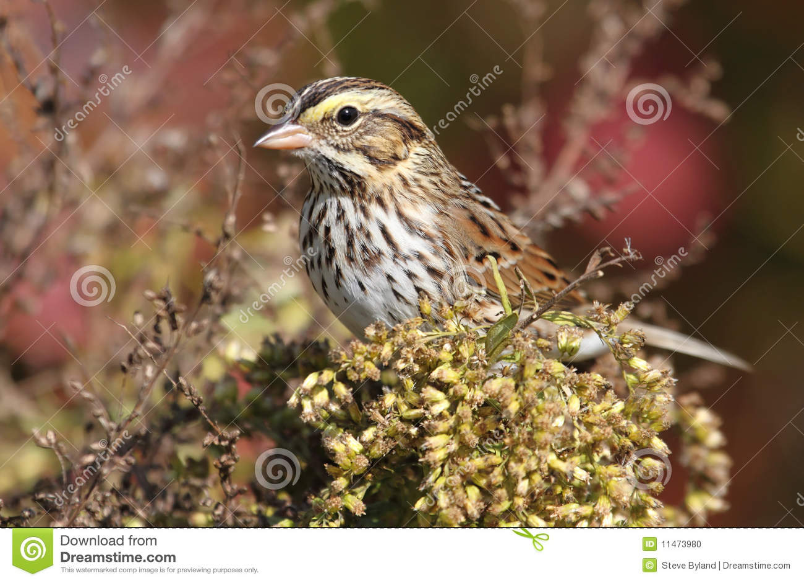Höstsavannahsparrow