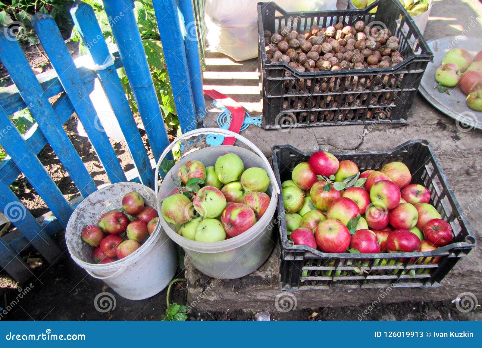 Höstskörd av frukter, äpplen, nu-ts som samlas i hinkar, och askar