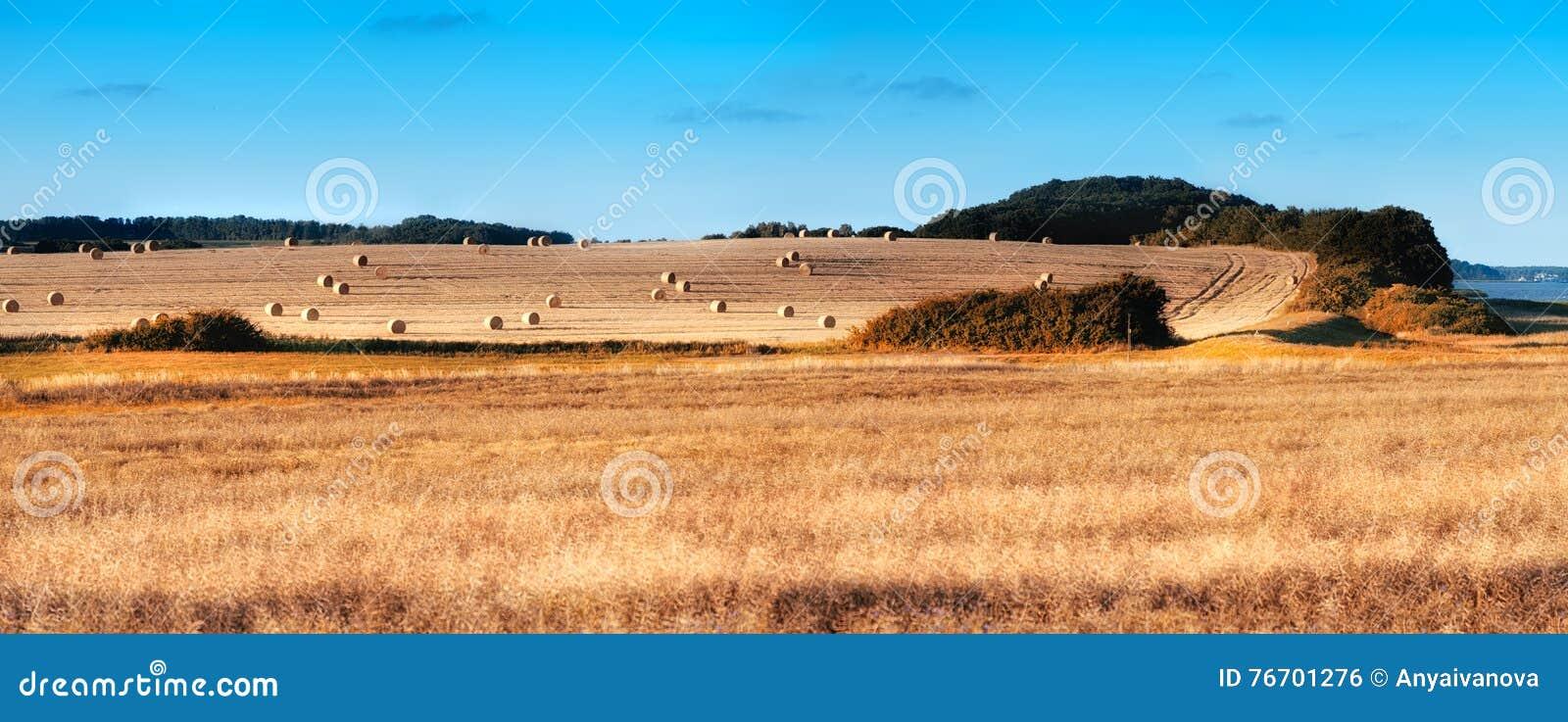Höstskördfält med rapsfröt och rullar av hö