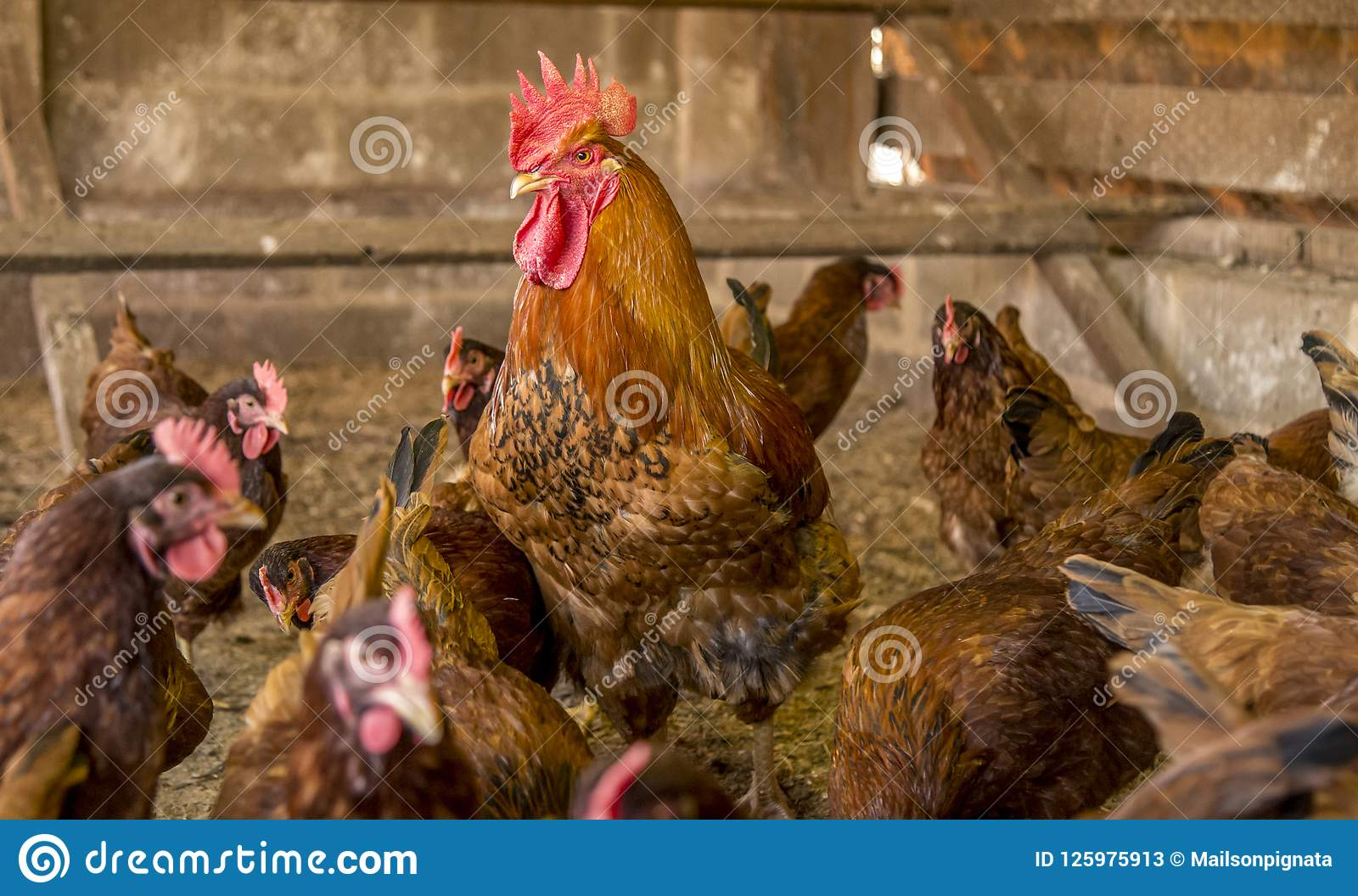 Hühnerschaffungs-Vieh