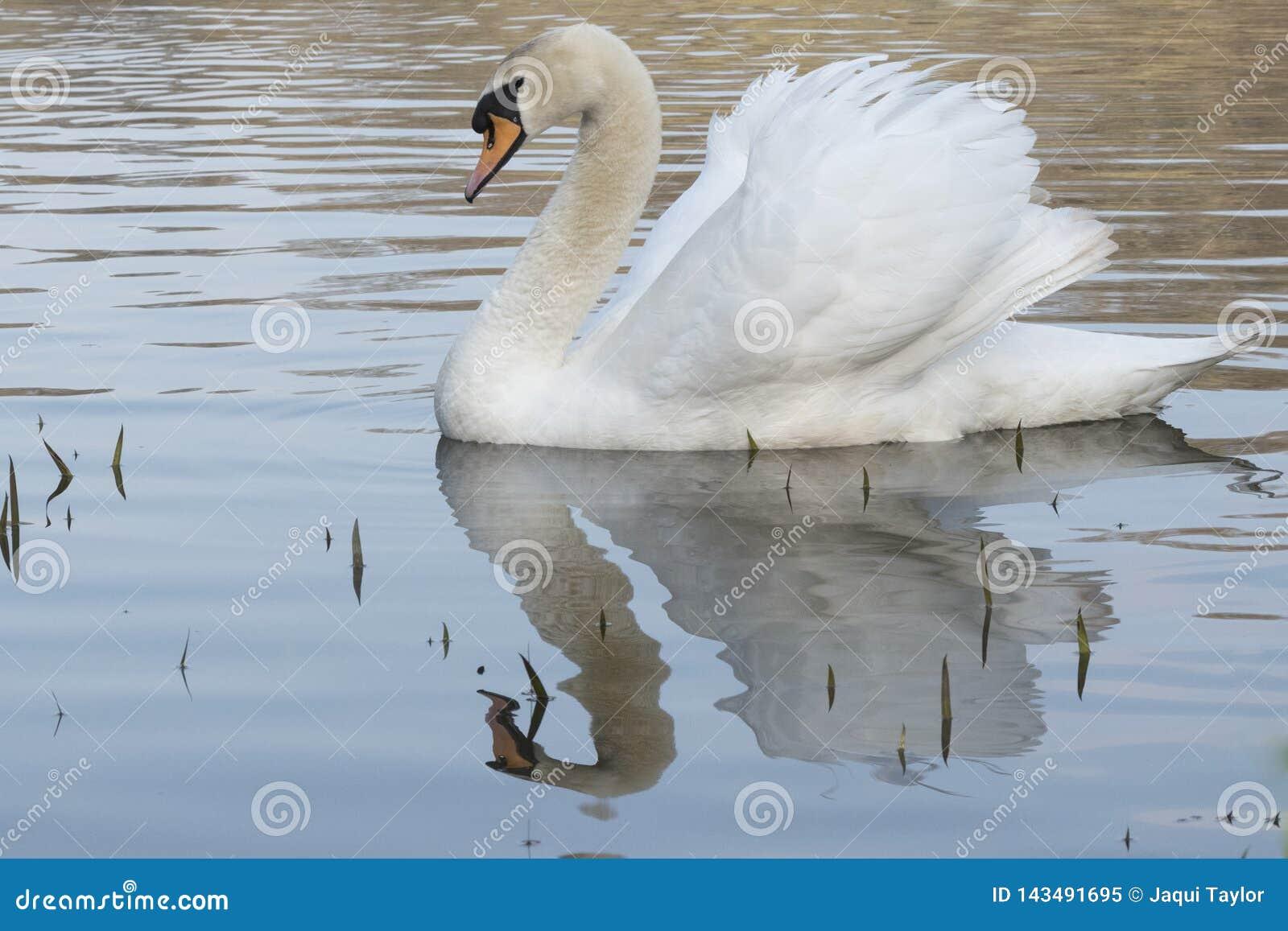 H?ckerschwan auf einem sonnigen Morgen