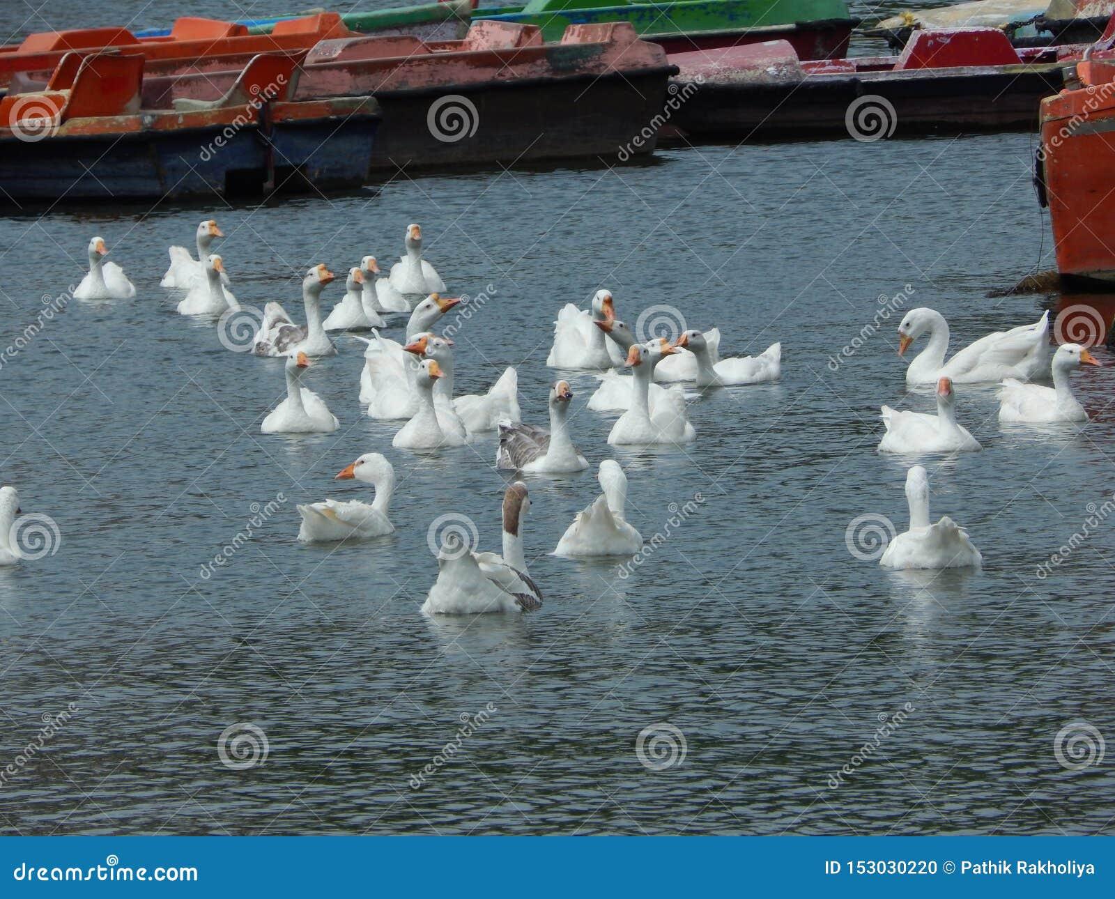 H?ckerschwan auf einem Teich