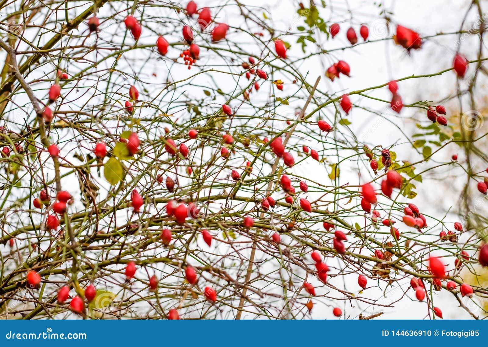 H?ftbuske med mogna b?r B?r av en dogrose p? en buske Frukter av l?sa rosor Taggig dogrose red steg