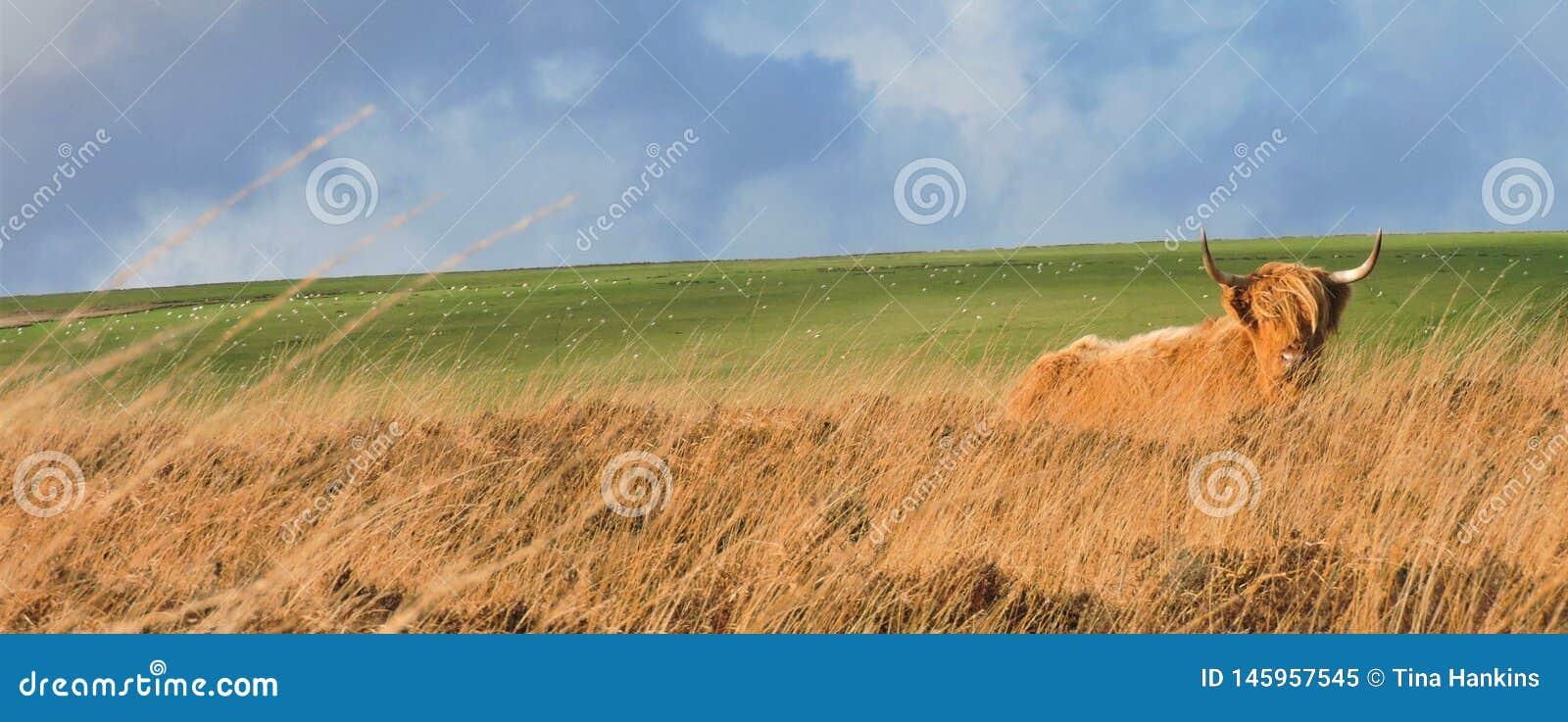 H?glands- ko som l?gger ner i gr?s- hedland