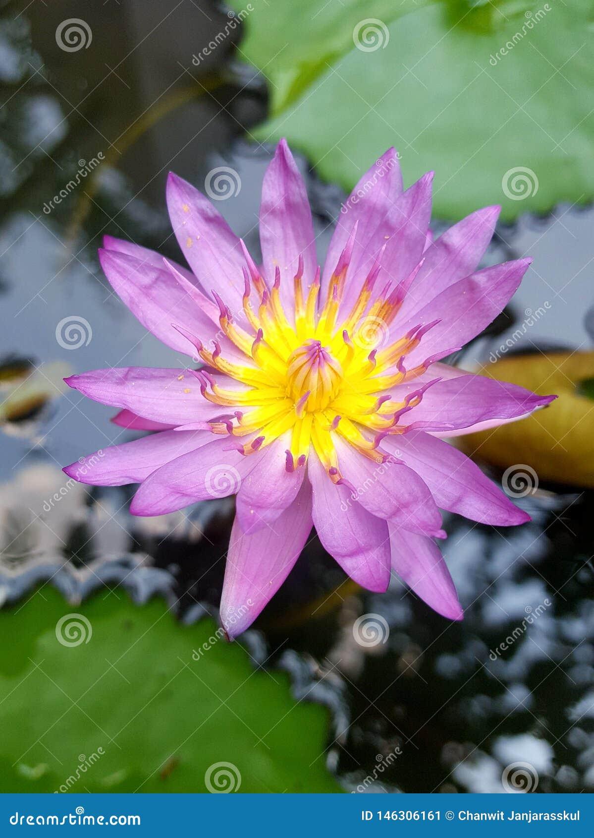 H?rlig purpurf?rgad lotusblomma i tr?dg?rden