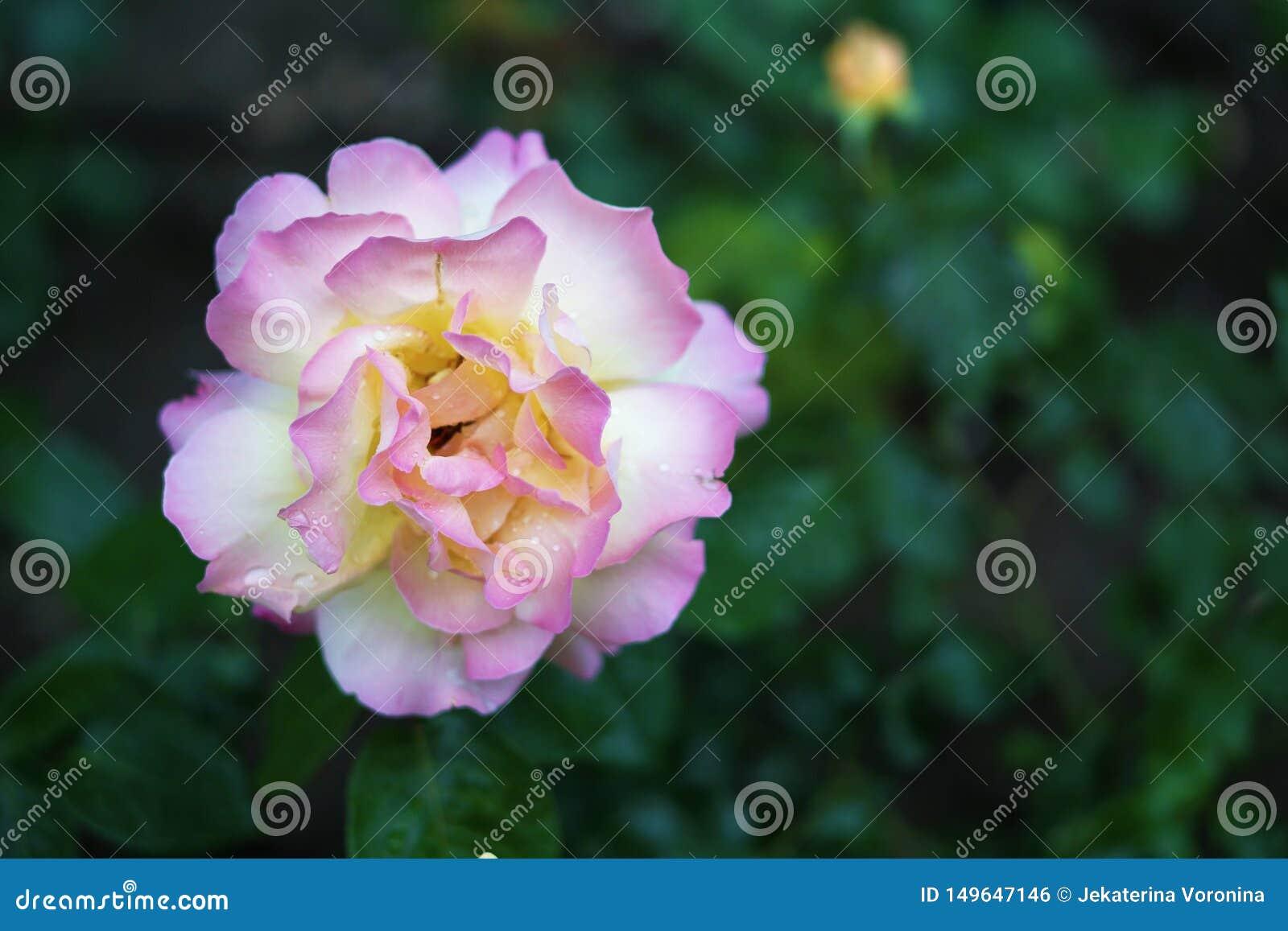 H?rlig vit- och rosa f?rgros