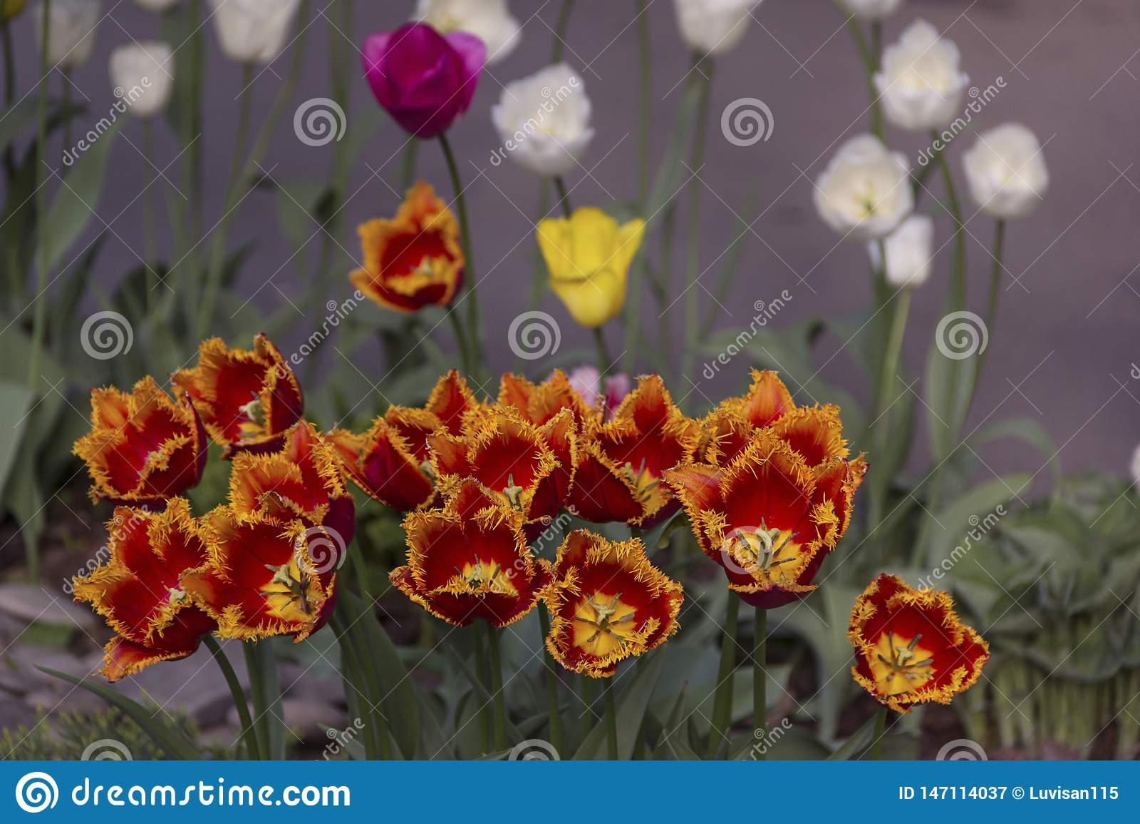 H?rliga blommande tulpan i tr?dg?rden i v?rbakgrund