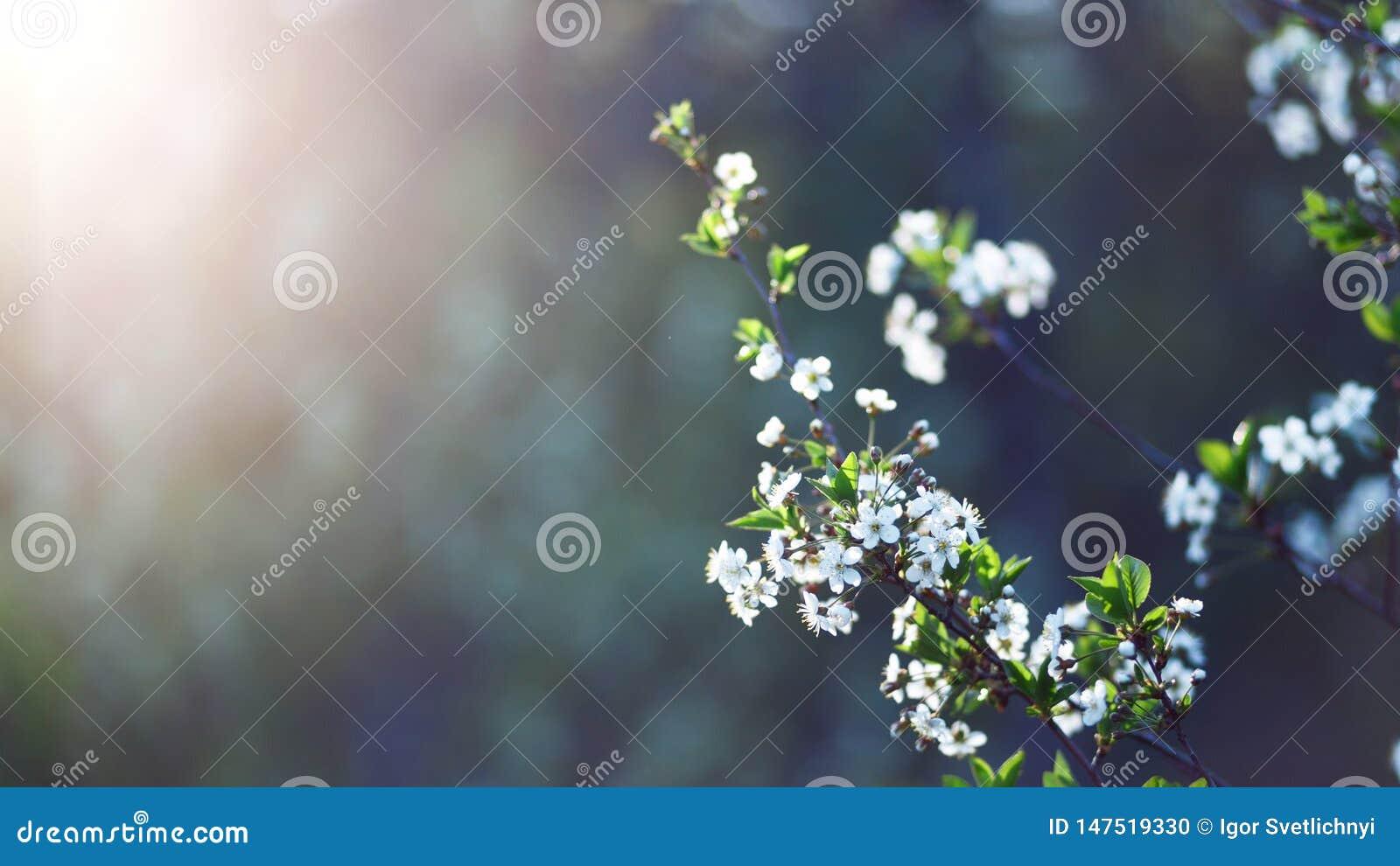 H?rligt naturligt f?r bakgrund Sommar v?rbegrepp Cherryet blommar nytt