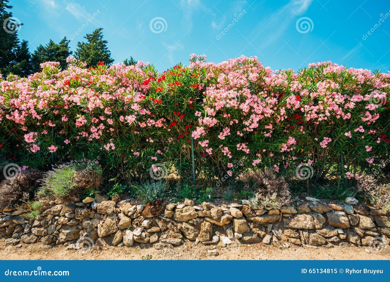 Struiken Met Bloemen Voor In De Tuin.Haag Van Bloeiende Struiken Roze Bloemen Tuin