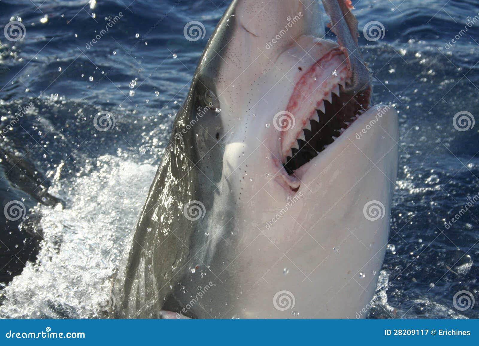 Haai die zijn tanden toont stock afbeelding afbeelding bestaande uit hoofd 28209117 - Ventilatie grot een vin ...