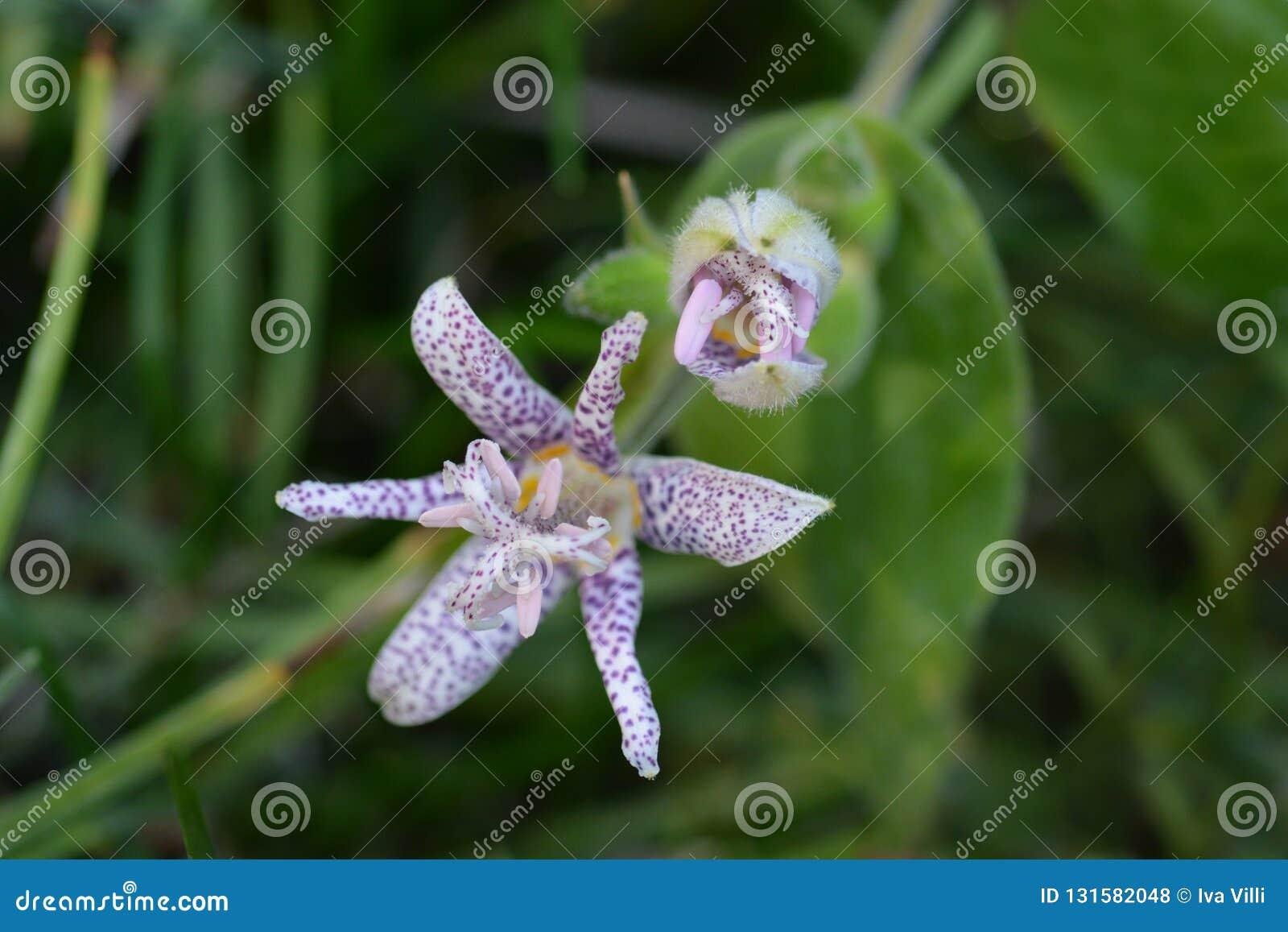 Haarige Krötenlilie