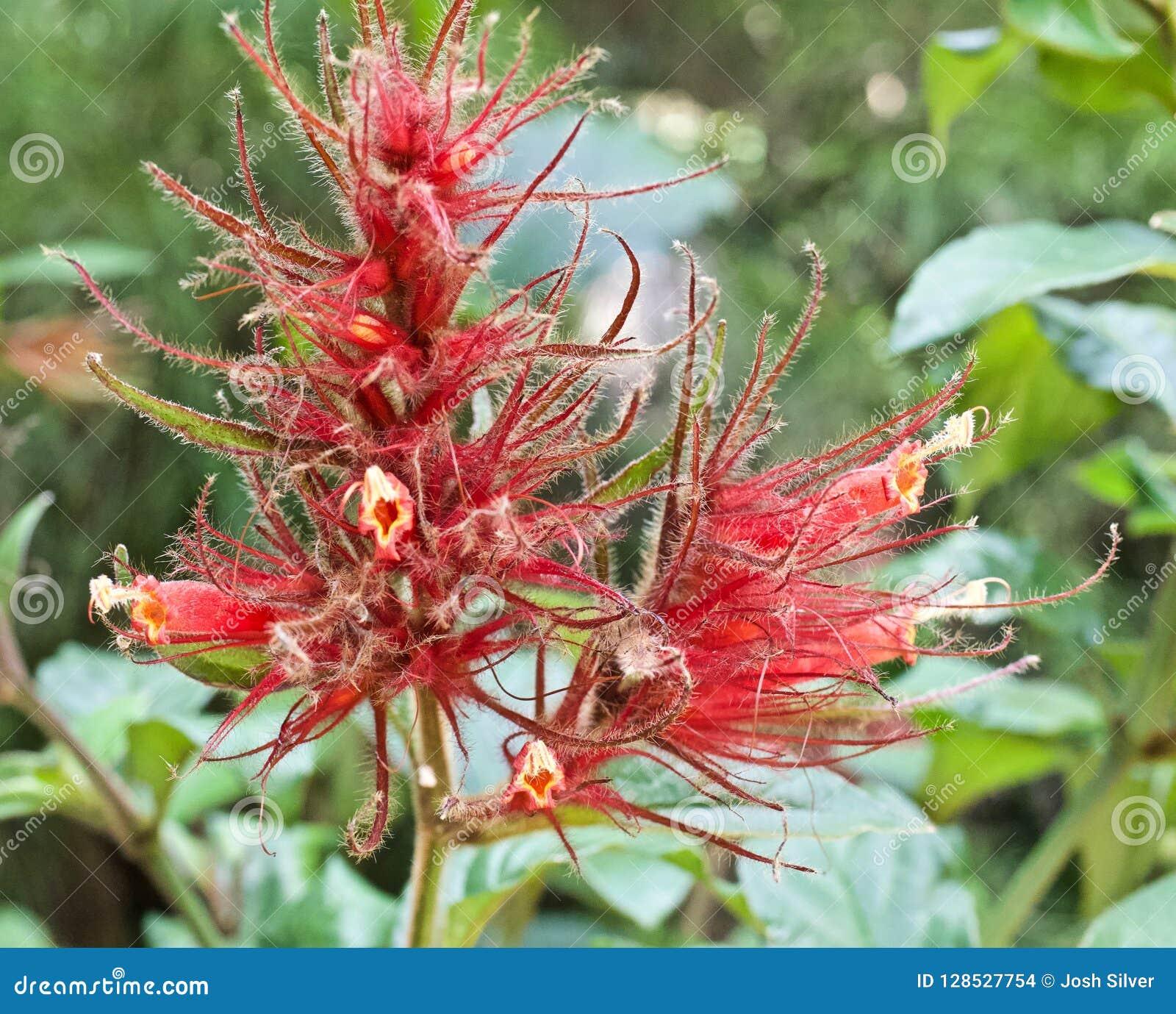 Haarige rote Blume